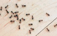 how to get rid of ants 43556467 - چگونه از دست مورچه ها خلاص شویم؟
