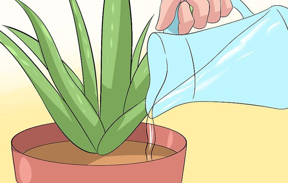 how to care for your aloe vera plant 4647688 - چگونه از گیاه آلوئه ورا نگهداری کنیم؟
