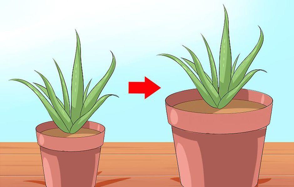 how to care for your aloe vera plant 556876980 - چگونه از گیاه آلوئه ورا نگهداری کنیم؟